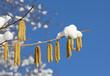 canvas print picture - Haselzweige mit Schnee bedeckt