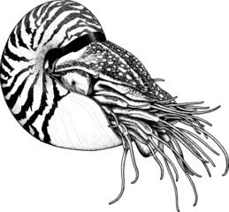Vintage illustration sealife nautilus