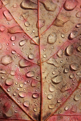 Close-up of a red and yellow maple leaf with dew drops