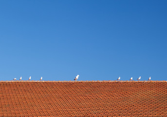 Birds on the tiled roof
