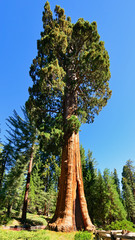 Giant sequoia trees in Sequoia National Park, California