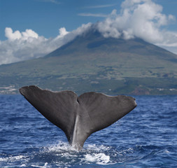 Fin of a sperm whale in front of volcano Pico, Azores islands 02