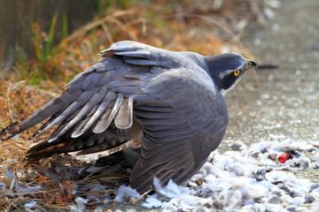Northern Goshawk (Accipiter gentilis) eating dove in Japan