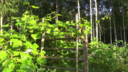 Grape creeper plants grow on wooden fence in garden