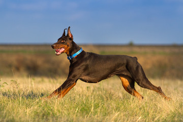 Doberman run outdoor