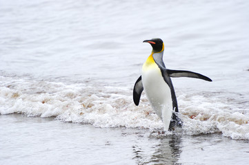 King Penguin (Aptenodytes patagonicus) coming out the water