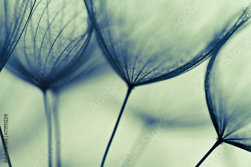 Abstract macro of plant seeds with water drops. Big dandelion © harley_