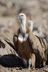 Griffon vulture standing on the ground.