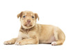 beige puppy on white background isolated