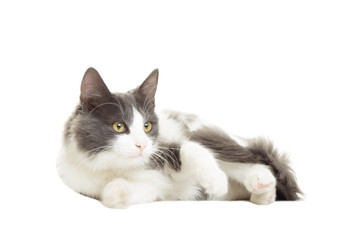 beautiful cat staring at a white background isolated