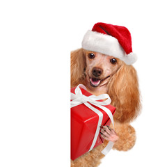 Dog with gift in red Christmas hats.
