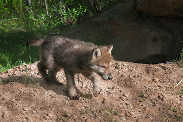 Grey Wolf Pup (Canis lupus) Runs Right