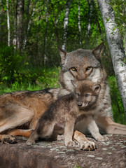 Mother Grey Wolf and Pup (Canis lupus)