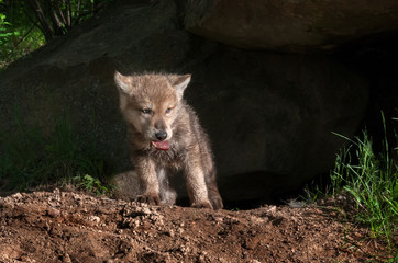 Grey Wolf Pup (Canis lupus) Climbs out of Den with Piece of Meat