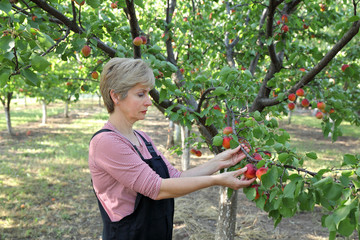 Agriculture, female farmer in apricot orchard picking fruit