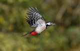 Fototapeta Great-spotted woodpecker, Dendrocopos major