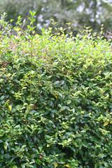 siepe di bosso_ giardino