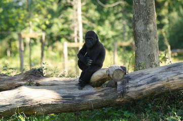 Jeune gorille des plaines sur un tronc d'arbre