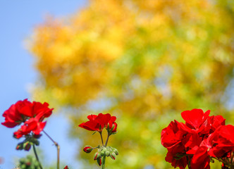 Red geranium flowers with yellow bokeh tree