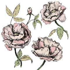 Vector hand drawn illustrations of ornate peonies.