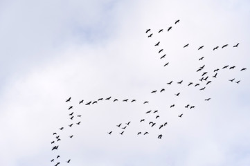 Kranichflug über dem Darss
