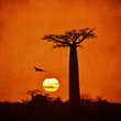 Vintage image of Baobab - 71956680