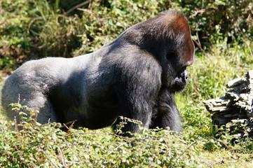 Gorille des plaines mâle adulte ou dos argenté marchant