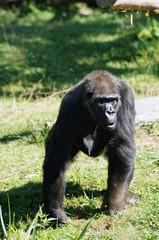 Gorille des plaines femelle en train de marcher