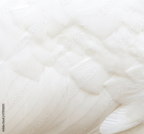 Tuinposter Zwaan background of white feathers