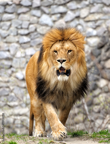 Foto op Plexiglas Leeuw Lion.
