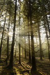 Rays of Sunlight in Forest at Sunrise