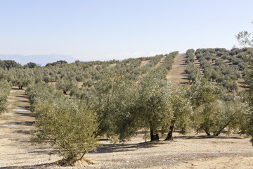 Spanish Olive field