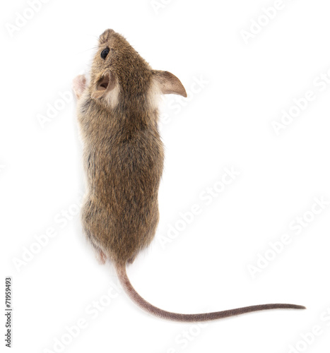 mouse on a white background - 71959493