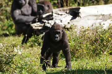 Jeune Gorille des plaines en train de marcher