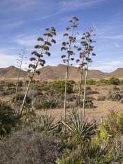 Agave plants in Almería, Spain