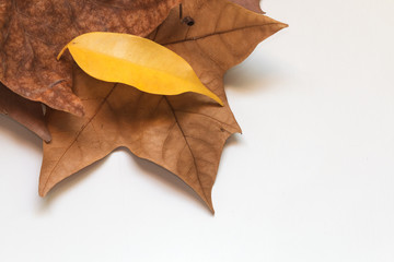 Autumn white background with bright leaves