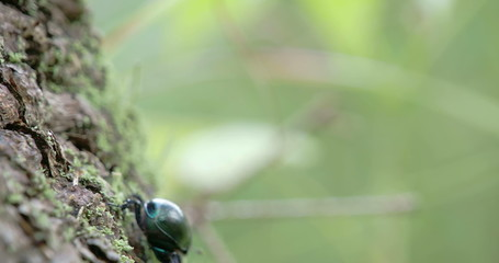 A dung beetle crawling on a tree with its tiny legs