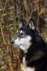 Siberian hunting dog Laika,