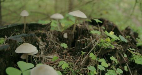 Small tiny pretty common wood sorrel