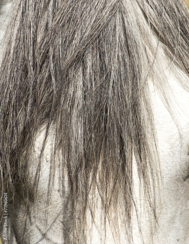 canvas print picture mane of a white horse