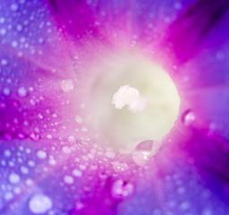 drops of water on purple flower