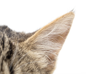 ear cat on a white background