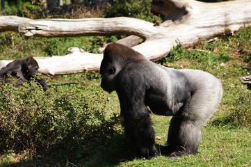 Gorille des plaines mâle adulte ou dos argenté de profil