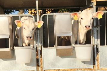 mucche bovini nel box della stalla