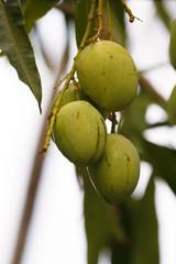 Vruchten van een notenboom.