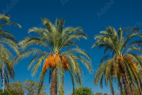 Papiers peints Palmier Date palm tree in front of blue sky