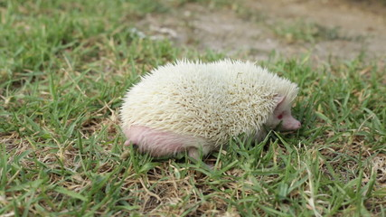 Albino hedgehog pooping to the grass.