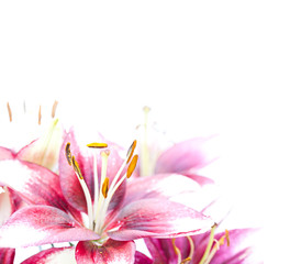 image of the single white lily in the corner