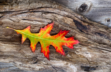 Vibrant Oak Leaf and Rustic Wood