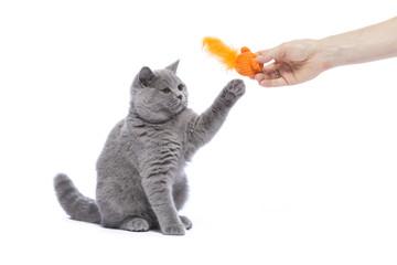 Katze, Kitten beim spielen, BKH, cute cat kitty